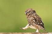 Chim cú có dáng đi như duyệt binh