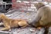 Tổng hợp những pha đùa dai của các chú khỉ