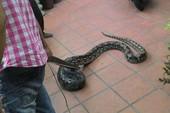 Đà Nẵng: Hết hồn thấy con trăn hơn 2m vào nhà
