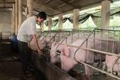 Dư thừa 200.000 tấn thịt heo, nông dân tuyệt vọng