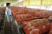 15.000 đồng/kg thịt heo: Sự thật buồn của nông dân