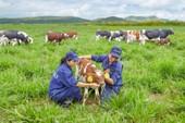 Trang trại bò sữa organic Vinamilk đạt chuẩn quốc tế