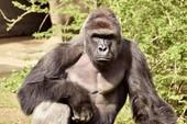 11.000 người Mỹ bầu cho khỉ đột đã chết thay vì Clinton