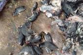 Nguy hại khôn lường nếu ăn nhằm thịt chuột cống