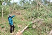 Nông trường 'vàng trắng' Quảng Bình tan tác sau bão