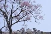 Ngắm hoa ngô đồng khoe sắc trong Đại nội Huế