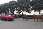 Đàn bò tự do 'đi dạo' giữa đường đô thị