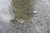 Hàng ngàn con cá nổi đặc kênh Nhiêu Lộc - Thị Nghè