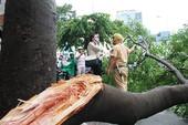 Cây tét nhánh, đường Cách mạng tháng 8 kẹt cứng