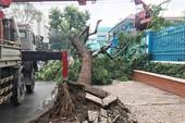 TP.HCM: Mưa quật cây cổ thụ bật gốc ngay cổng trường