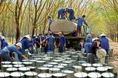 Nguy cơ Ấn Độ điều tra chống bán phá giá cao su Việt Nam