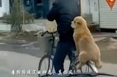 Vui nhộn chó ngồi sau xe đạp