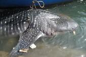 Ngư dân Bình Định bắt được cá lạ hơn 1 tấn