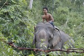 Nước mắt voi rừng - Kỳ cuối: Bạn với đại ngàn