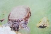 """Rùa mai mềm chết ở hồ Hoàn Kiếm không cùng loài với """"Cụ Rùa"""""""