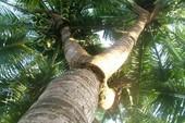 Cây dừa có trái ở ba ngọn