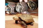 Xuyên đại ngàn săn rùa vàng