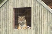 Một người thiệt mạng vì nuôi hổ dữ Siberi trong nhà