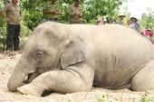 Nước mắt voi rừng - Kỳ 4: Bi kịch của con người
