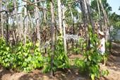 Vườn trầu bên sông Hậu