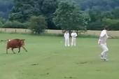 VĐV đang thi đấu bỗng bị bò lao vào sân rượt chạy có cờ