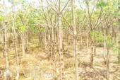 Cây trôm ở gần bãi thải xỉ Vĩnh Tân chết hàng loạt