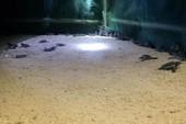 Thả 103 rùa con về biển Hòn Cau