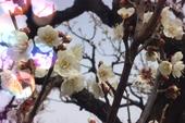 Clip: Đắm say giữa 'thiên đường hoa mơ' ở Nhật Bản