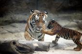 Mỗi con hổ ở Thảo Cầm Viên 'xơi' 1 triệu đồng/ngày