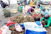 Hơn 600.000 con tôm hùm ở Phú Yên chết