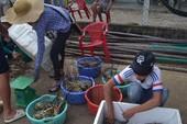 Hơn 1,4 triệu con tôm hùm chết ở Phú Yên