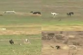 Clip: Thỏ con thoát khỏi cuộc truy đuổi của 2 chú chó