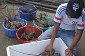 Vùng nước có tôm hùm chết ô nhiễm trầm trọng
