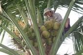 Cụ bà 60 kiếm sống trên ngọn dừa