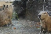Chuột ở vườn thú được tắm... nước nóng