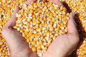 Phạt vì chế biến thực phẩm từ bắp không hạn sử dụng