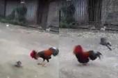 Cuộc chiến không cân sức giữa chim và... gà chọi