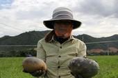 Đà Nẵng: Dân mất trắng hơn 18 ha dưa hấu
