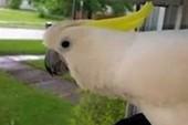 Chuyện lạ: Vẹt sủa như chó