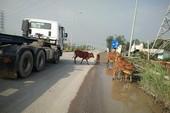 Bò đi dạo trên đường đô thị