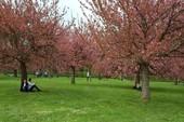 Parc de Sceaux mùa hoa anh đào