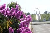 Mùa hoa bằng lăng tím ngát bên Vòng tròn bất tử