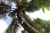 Chùm ảnh:Cụ bà 60 tuổi vẫn phải kiếm sống trên ngọn dừa