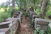 Đề nghị 'trục xuất' ngay ong ngoại khỏi rừng U Minh Hạ