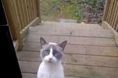 Kỳ lạ chú mèo có tiếng kêu như người