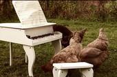 Làm thế nào để dạy gà chơi piano