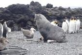 Clip hải cẩu 'yêu' chim cánh cụt