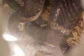 Kinh hoàng phát hiện 5 con rắn hổ mang chúa tại sân bay