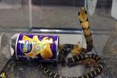 Mở hộp bánh, sững sờ thấy 3 con rắn hổ chúa