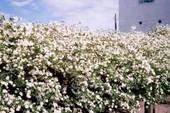 Chiêm ngưỡng cây hoa hồng khổng lồ, tán rộng 800m2